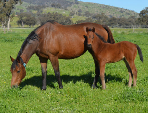 TOSEN FOALS ARE SET FOR STARDOM